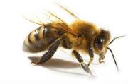 abeille-654d9
