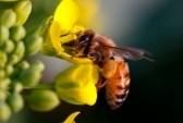 4734024-une-abeille